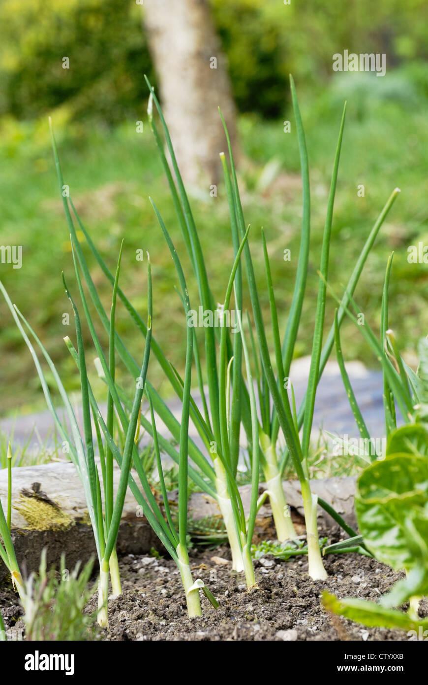 """Allium cepa, die japanische Zwiebel enshyu Gelb"""" im Frühjahr. Stockbild"""