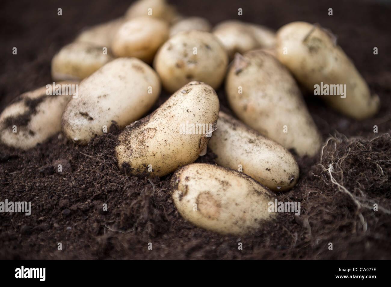 Frisch geerntete Frühkartoffeln in Kompost reichen Boden, Großbritannien. Stockbild