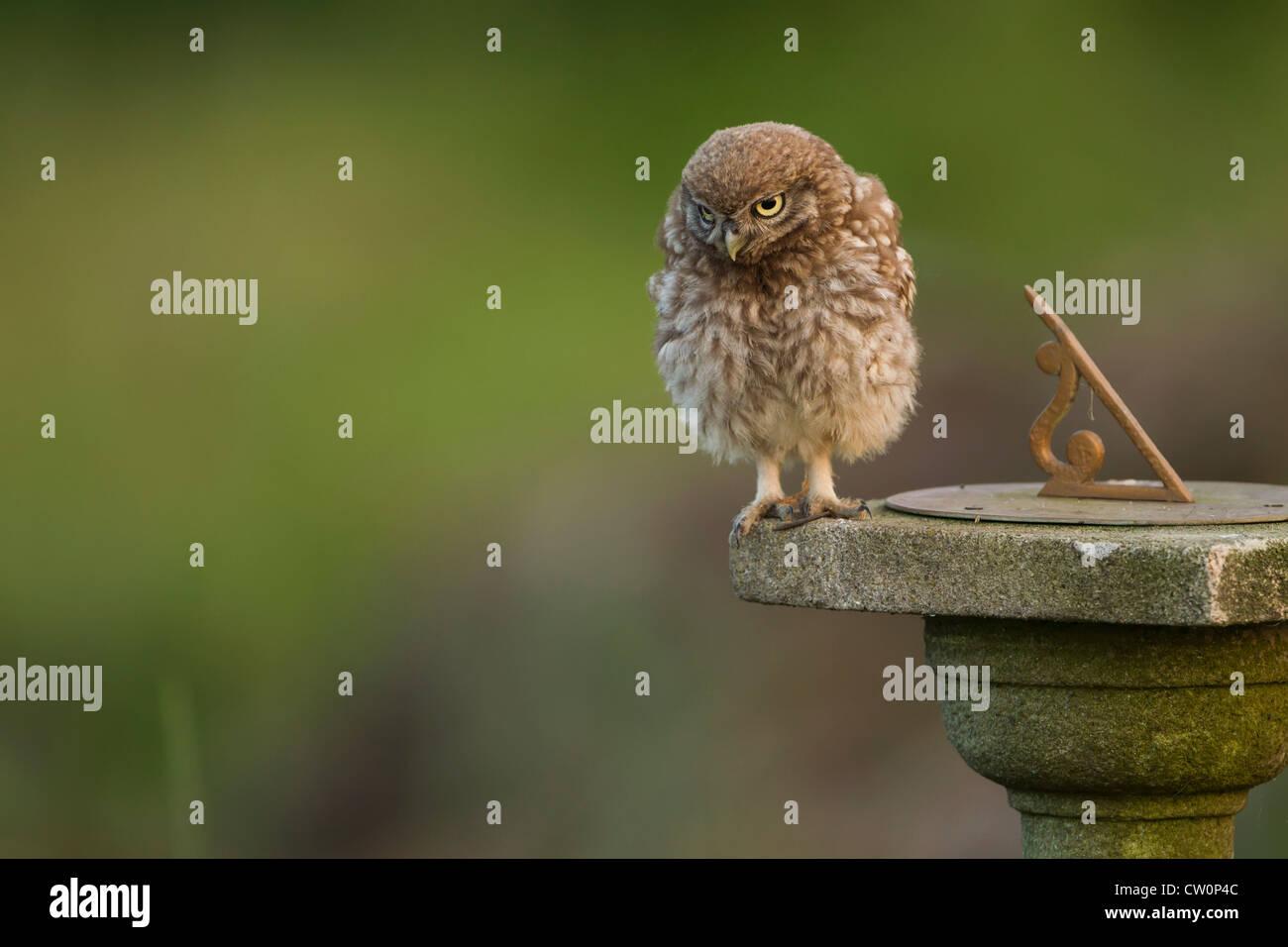 Steinkauz (Athene Noctua) UK Stockfoto