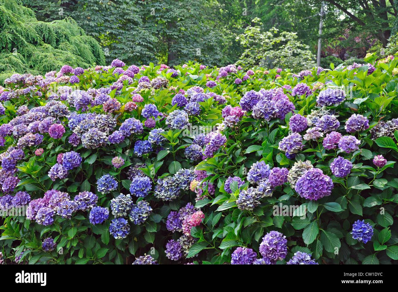 bl te lila hortensien busch stockfoto bild 49820048 alamy. Black Bedroom Furniture Sets. Home Design Ideas