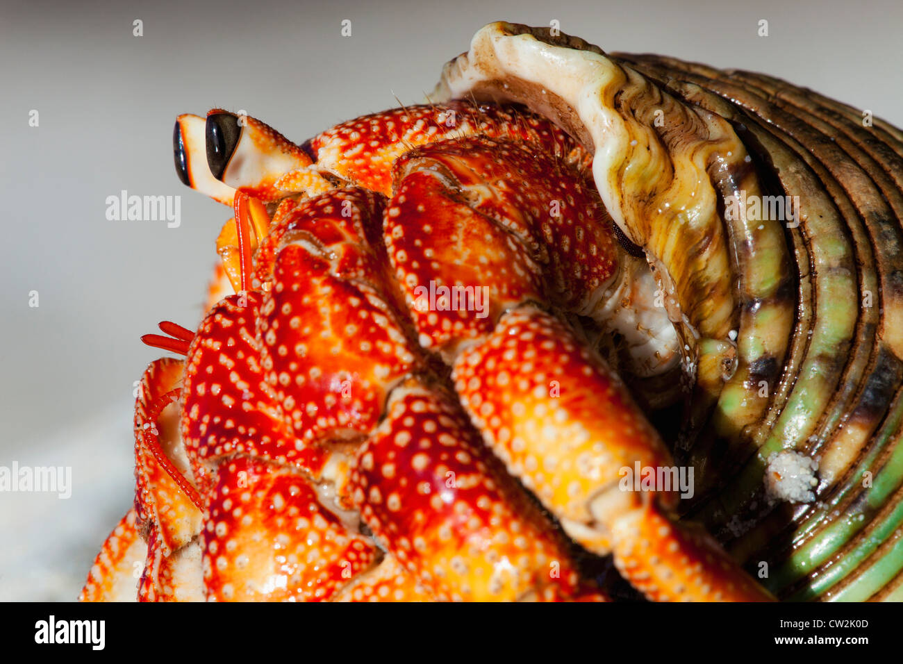 Einsiedlerkrebs (Anomura Spp). Schützen Sie sich mit den leeren Schalen der Weichtiere. Seychellen. Stockbild