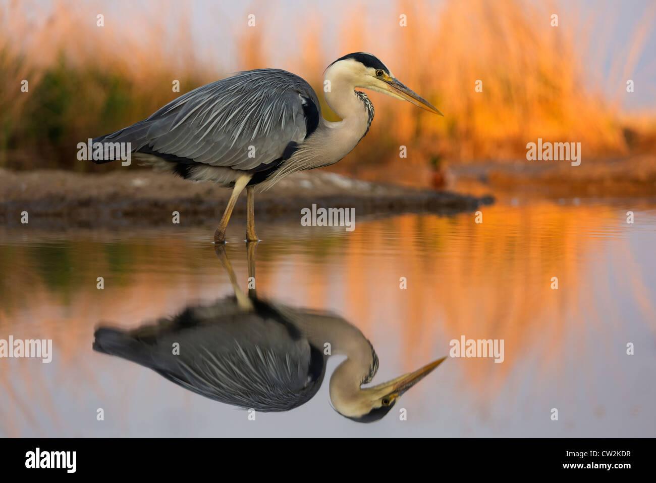 Grau Heron(Ardea cinerea) stalking Beute. Hungrige Stockbild