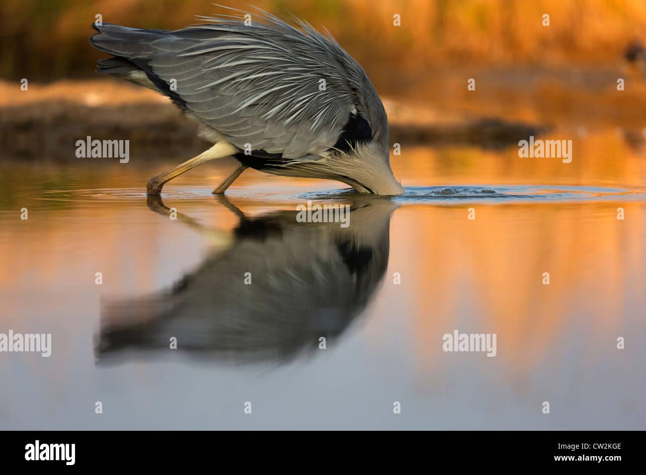 Grau Heron(Ardea cinerea) Tauchen nach Beute. Hungrige Stockbild