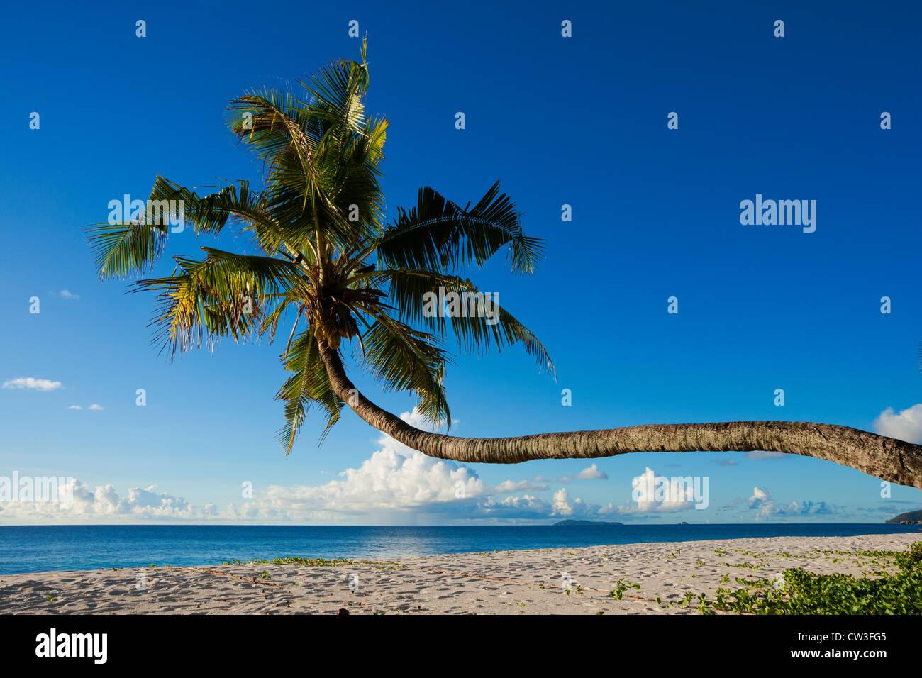 Schiefe Palmen am Strand, Cousine Island.Seychelles Stockbild