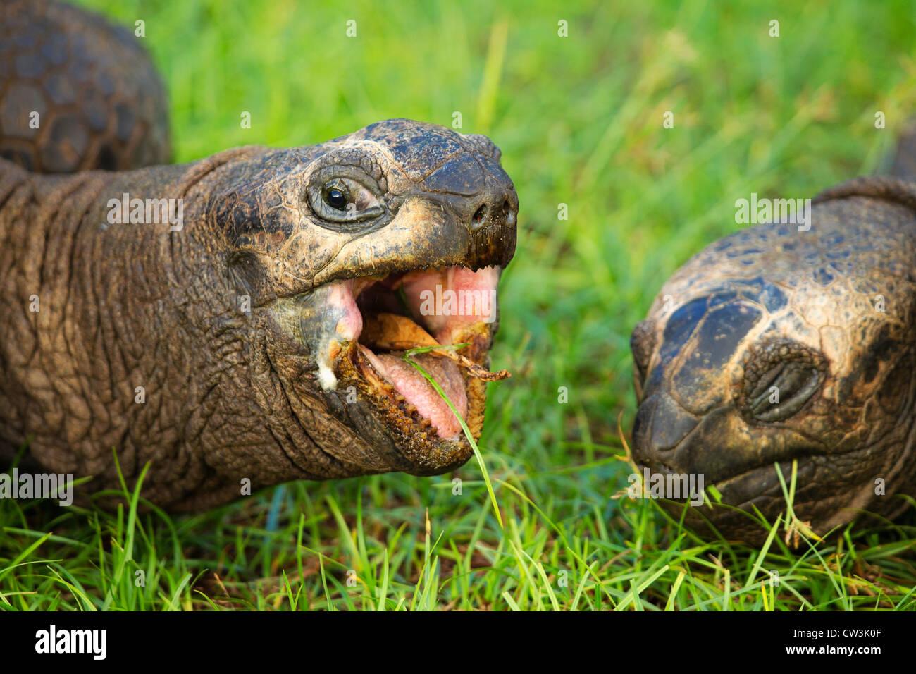 Riesenschildkröte (Geochelone Gigantea). Gefährdete Arten. Dist. Inseln der Seychellen. Stockbild