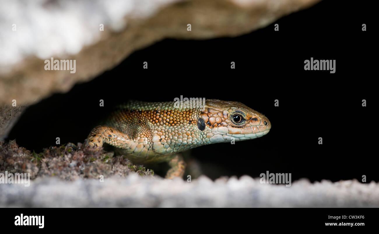 Gemeinen Eidechse versteckt unter einer Steinmauer Stockfoto