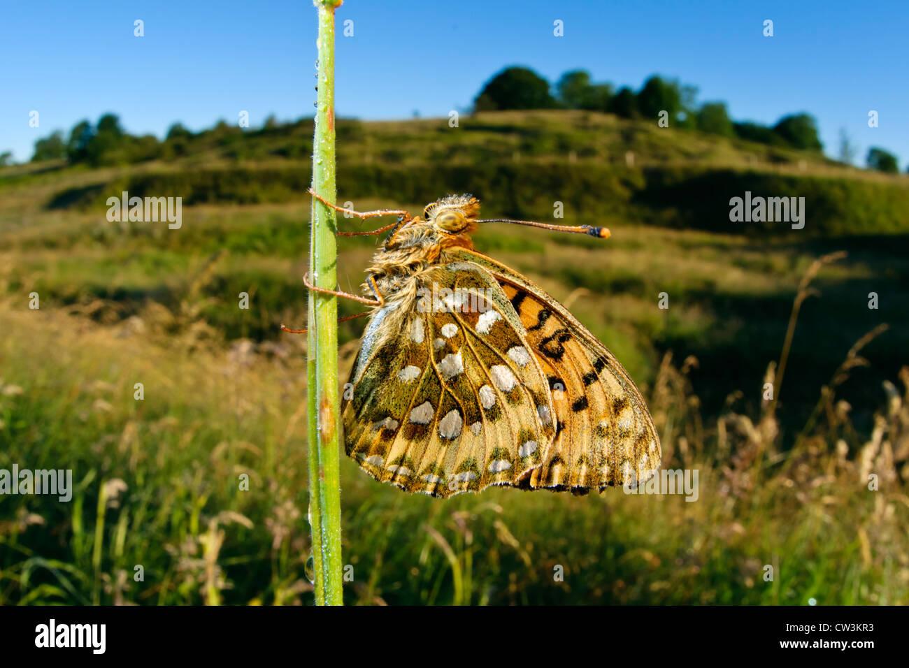 Dunkel grün Fritillary Schmetterling in einem grasbewachsenen Lebensraum Stockbild