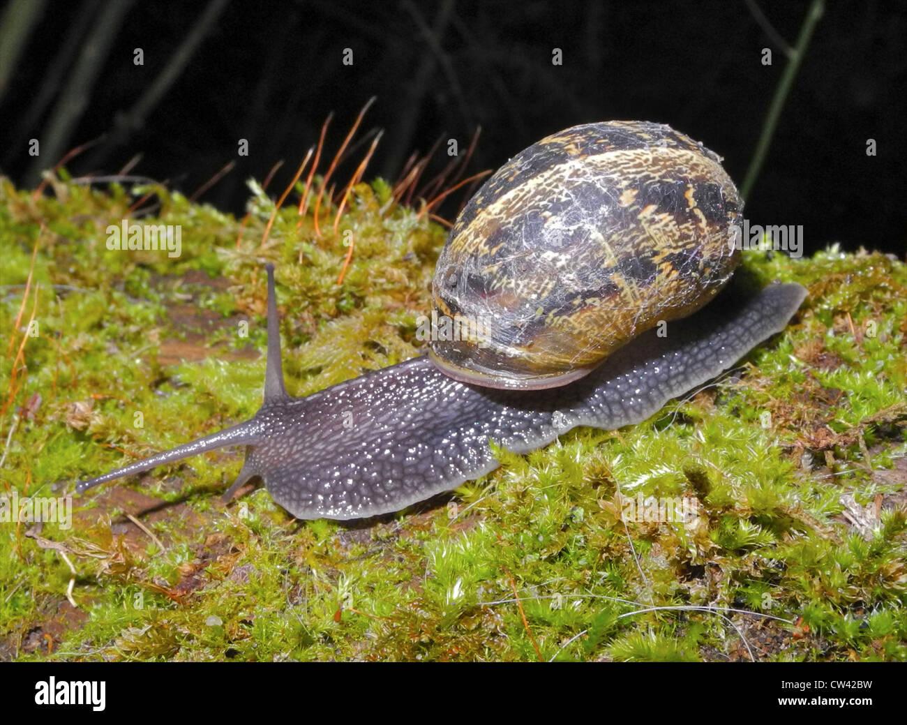 Schnecke Garten Schnecke (Helix Aspersa) Schnecken Plage Stockbild