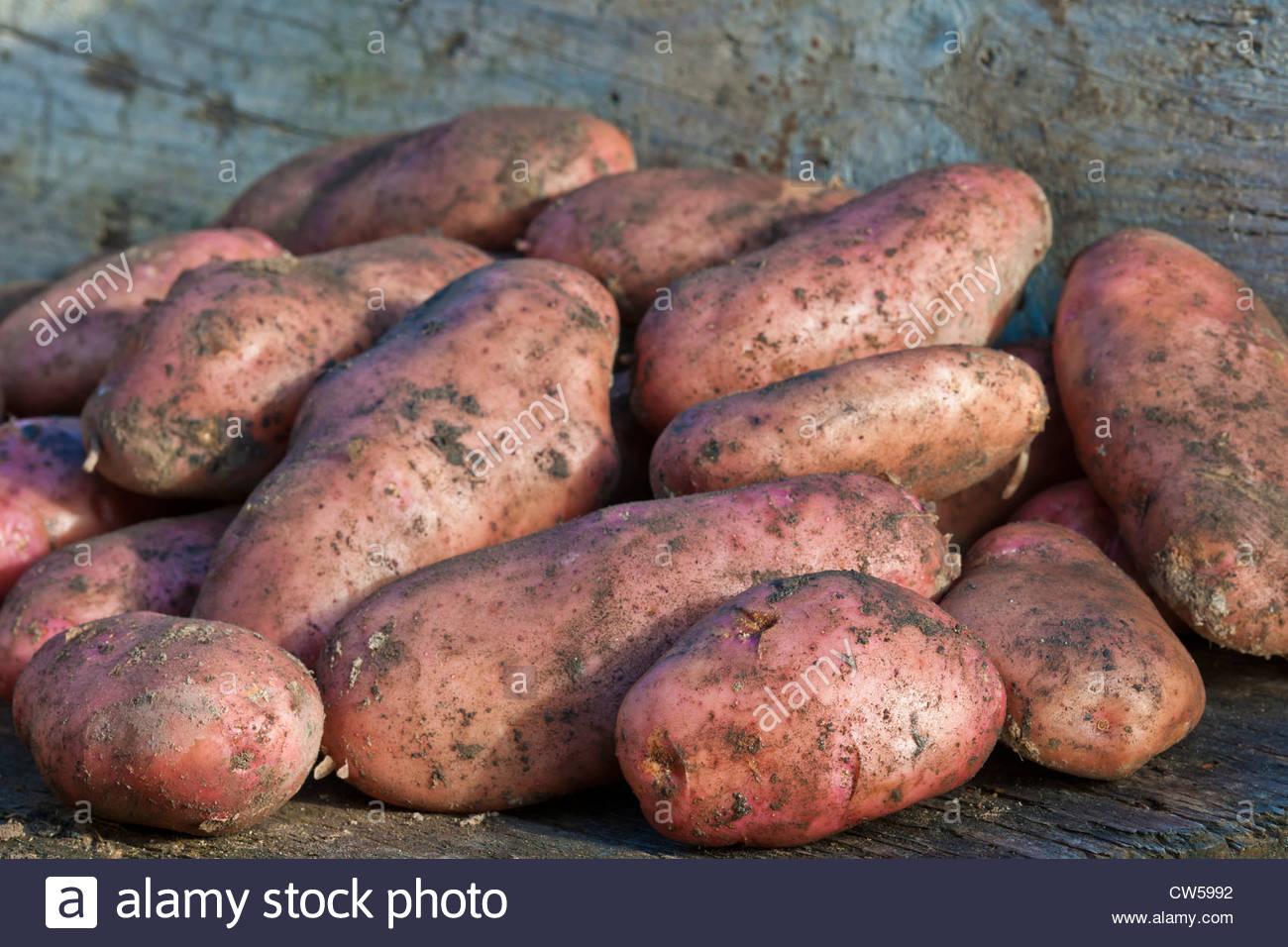 Kartoffel Sarpo Una gegraben frisch geernteten frühen Hauptkultur Sommer August selbst angebauten voll Erde Stockbild