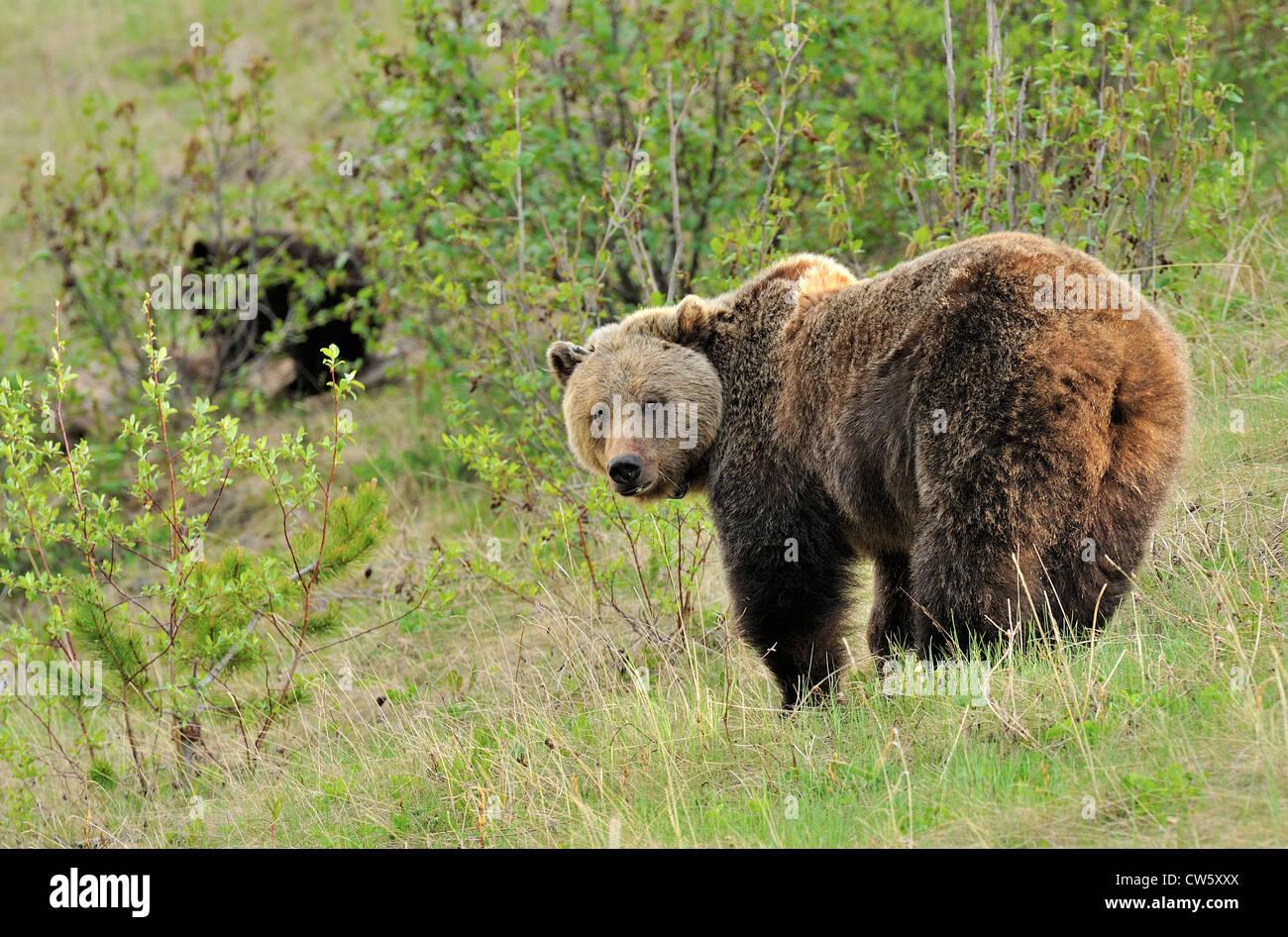 Eine Erwachsene Mutter Grizzly Bär auf der Suche zurück, als sie eine Bergwiese im Frühling überquert. Stockbild