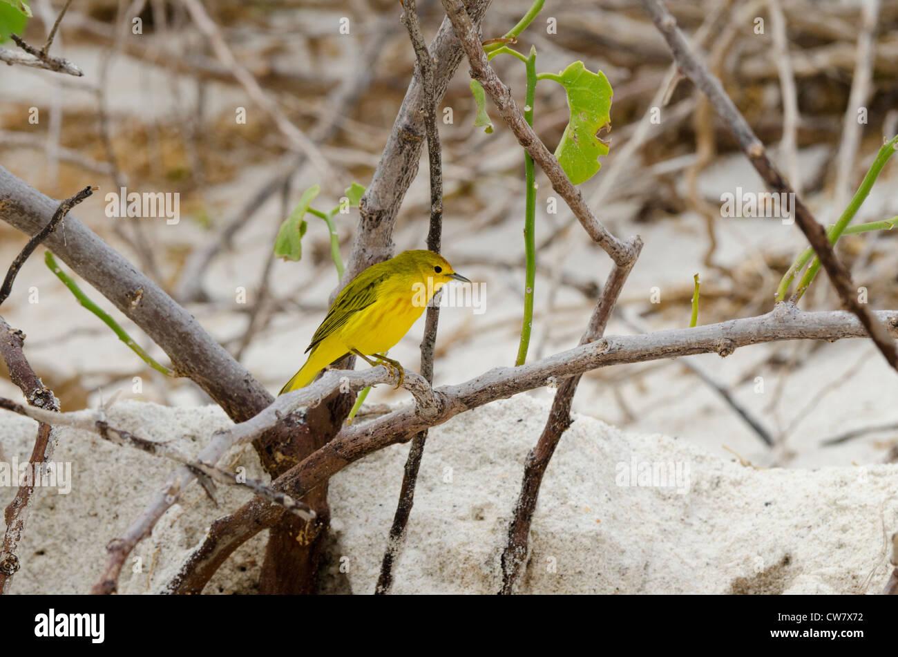 Ecuador, Galapagos, Espanola Insel (aka Haube), Gardner Bay. Schnäpperrohrsänger (endemisch/Wild - Dendroica Stockbild