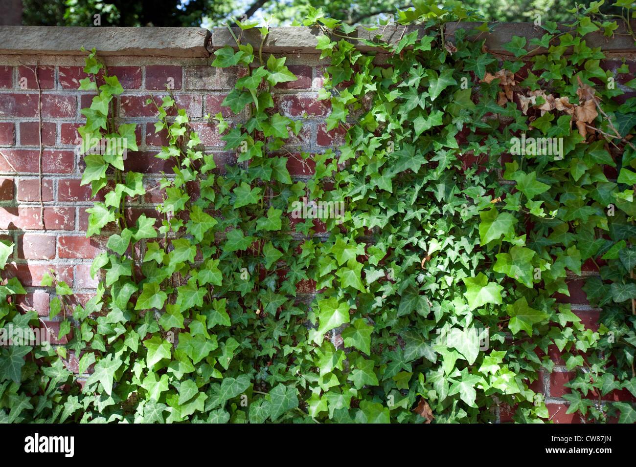 Englischer Efeu oder gemeinsame Efeu (Hedera Helix) wächst auf Ziegelmauer Stockbild