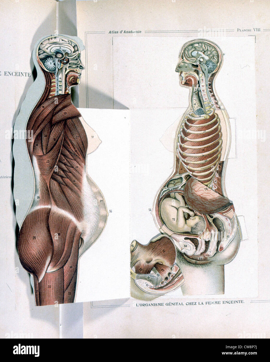 Menschlichen Körper, die Frau, Darstellung aus dem späten 19 ...