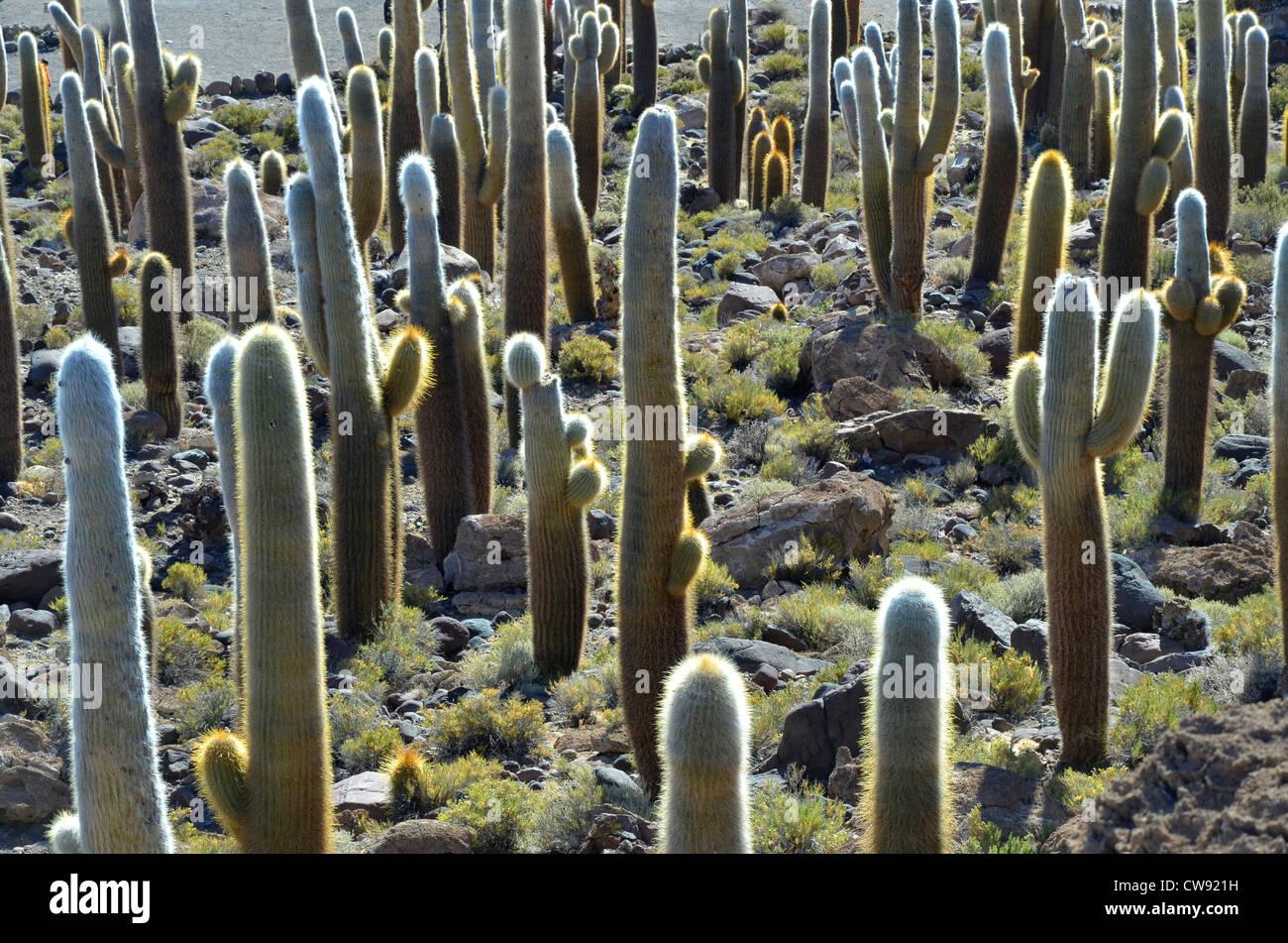 Die Höhenlage Hochebene der Anden in Bolivien, Südamerika bereisen. Kakteen auf der Insel, Salaar de Uyuni Stockfoto