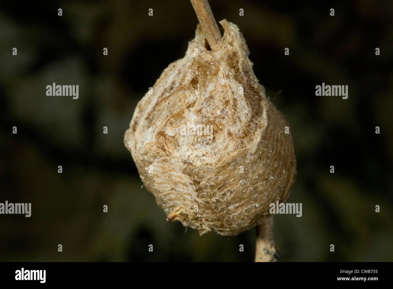 Die Ei-Sac von einer Gottesanbeterin Mantis religiosa Stockbild