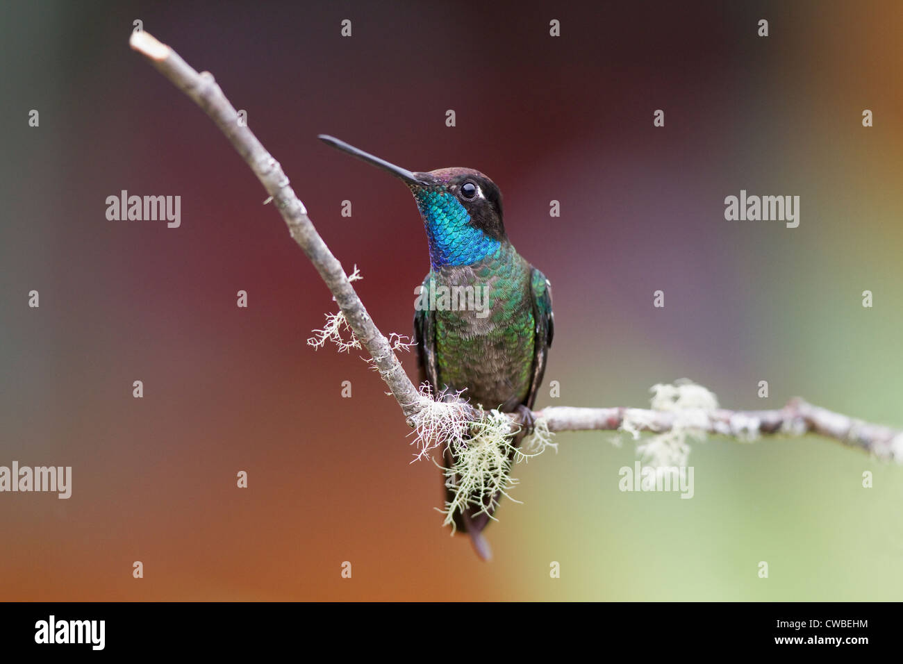 Männliche herrlichen Kolibri (Eugenes Fulgens) thront auf einem Ast am Savegre Mountain Lodge San Gerardo de Stockbild