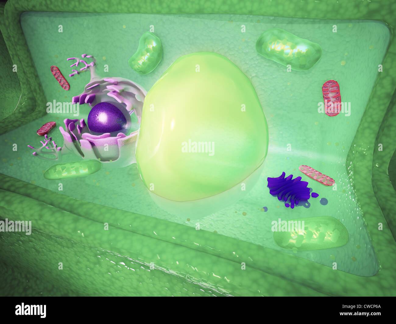 Pflanzlichen Zelle Cutaway Wissenschaft Abbildung Stockfoto, Bild ...
