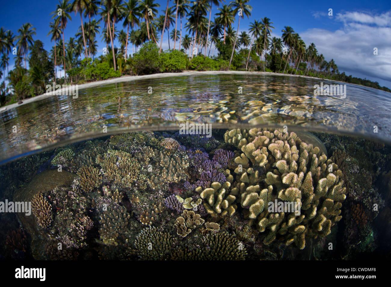 Eine Reihe von robusten Aufbau von Riff-Korallen wachsen in den Untiefen in der Nähe von einem weißen Stockbild