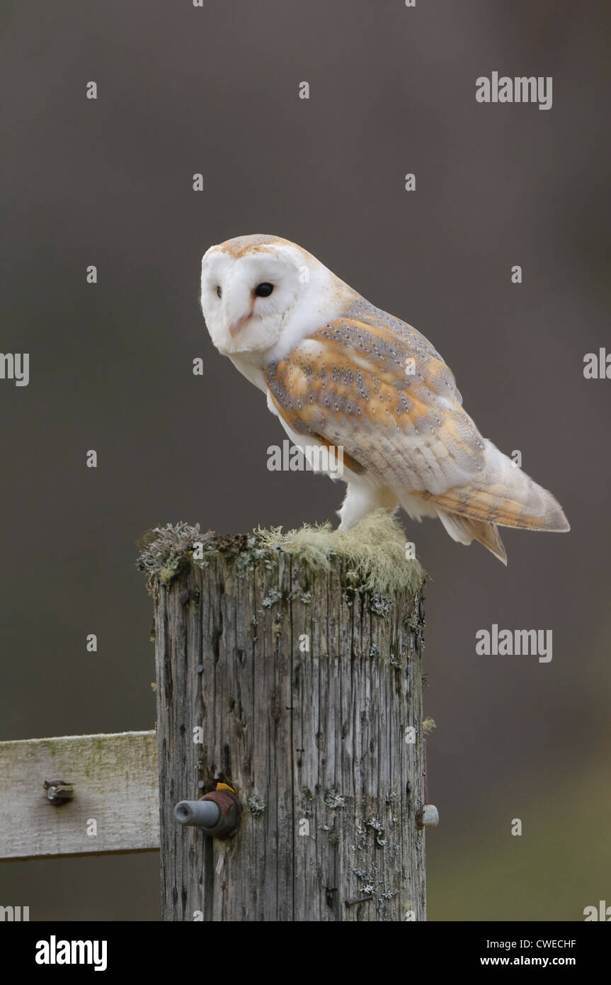 Schleiereule (Tyto Alba) Erwachsenen thront auf Säule. Schottland. Gefangenschaft gezüchtete Falkner Vogel Stockbild
