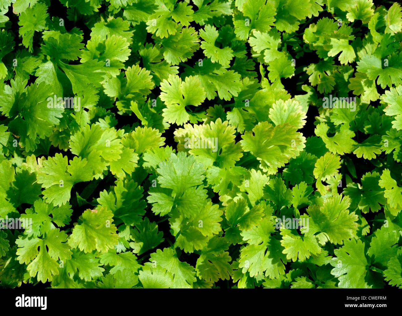 junge frische koriander kraut pflanze stockfoto bild 50106888 alamy. Black Bedroom Furniture Sets. Home Design Ideas