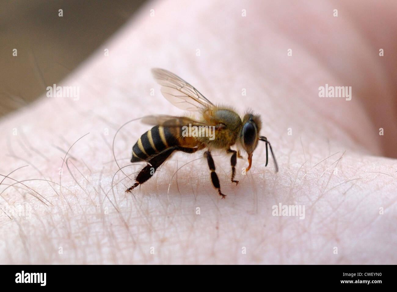 Schwitzen Sie Biene (Meliponine SP.) trinken Schweiß aus der Fotografen-Hand in einem thailändischen Regenwald Stockbild