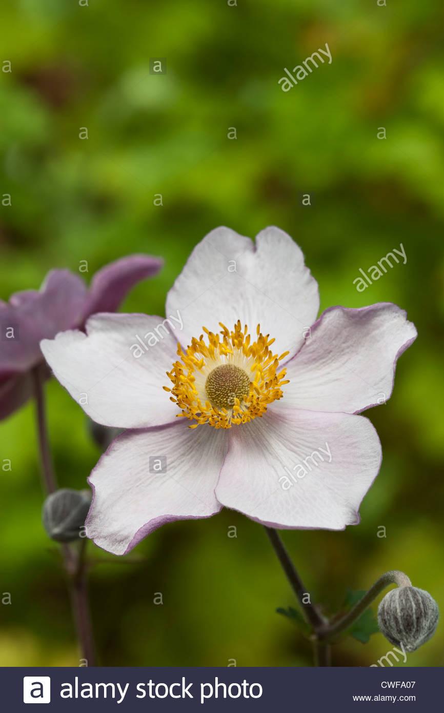 Japanische Anemone X hybrida Hadspen Fülle lila rosa Sommer Blume mehrjährige Mauve August Feriengast Stockbild