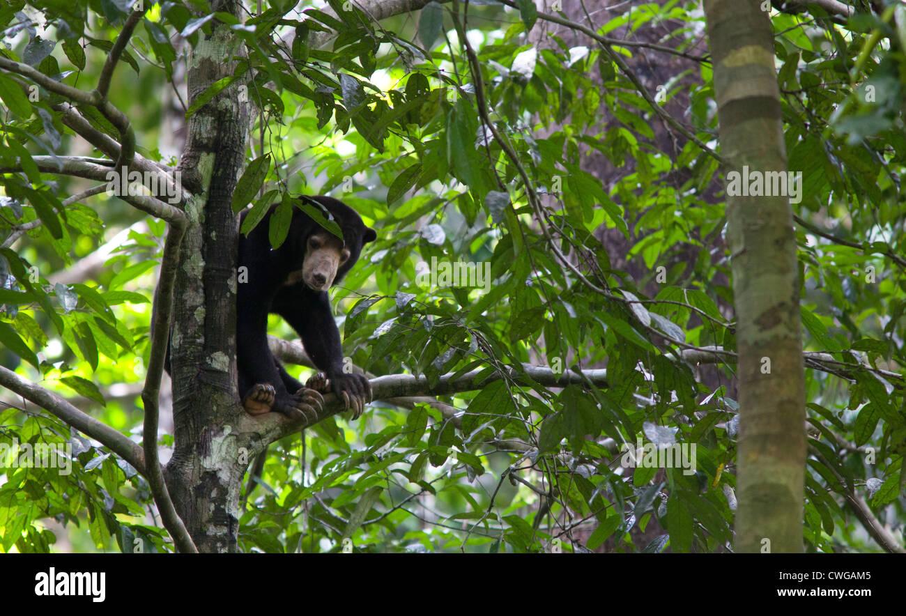 Sun Bear, Helarctos Malayanus, Bornean Sun Bear Conservation Centre, Sabah, Malaysia Stockfoto