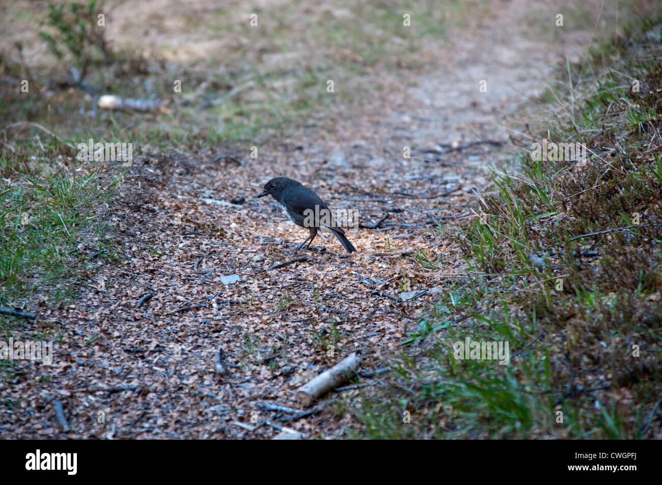 New Zealand Robins sind endemisch in Neuseeland und an Waldrändern Leben.  Langbeinschnäpper Sind in Neuseeland Stockbild
