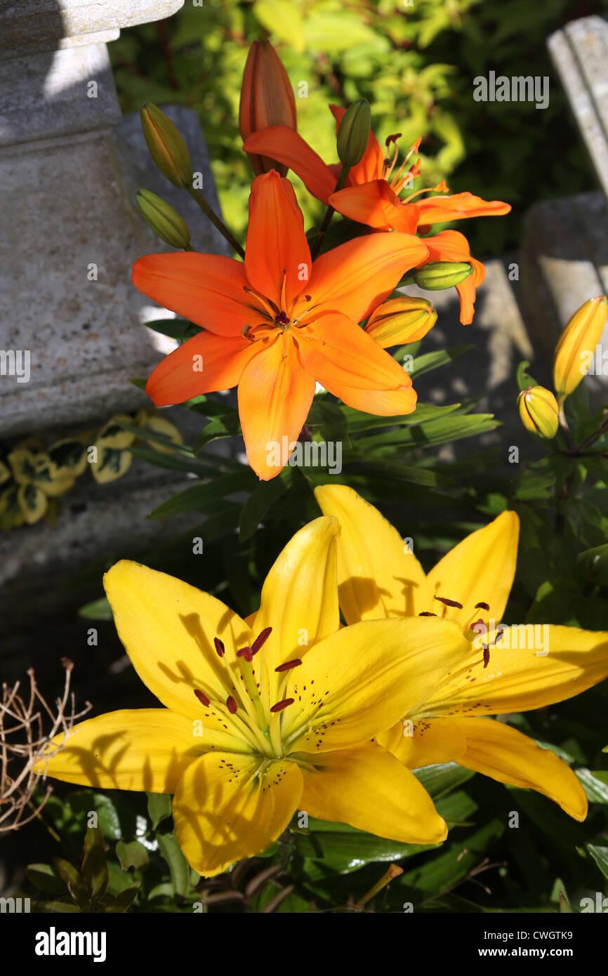 Gelb und Orange Lilien Stockbild