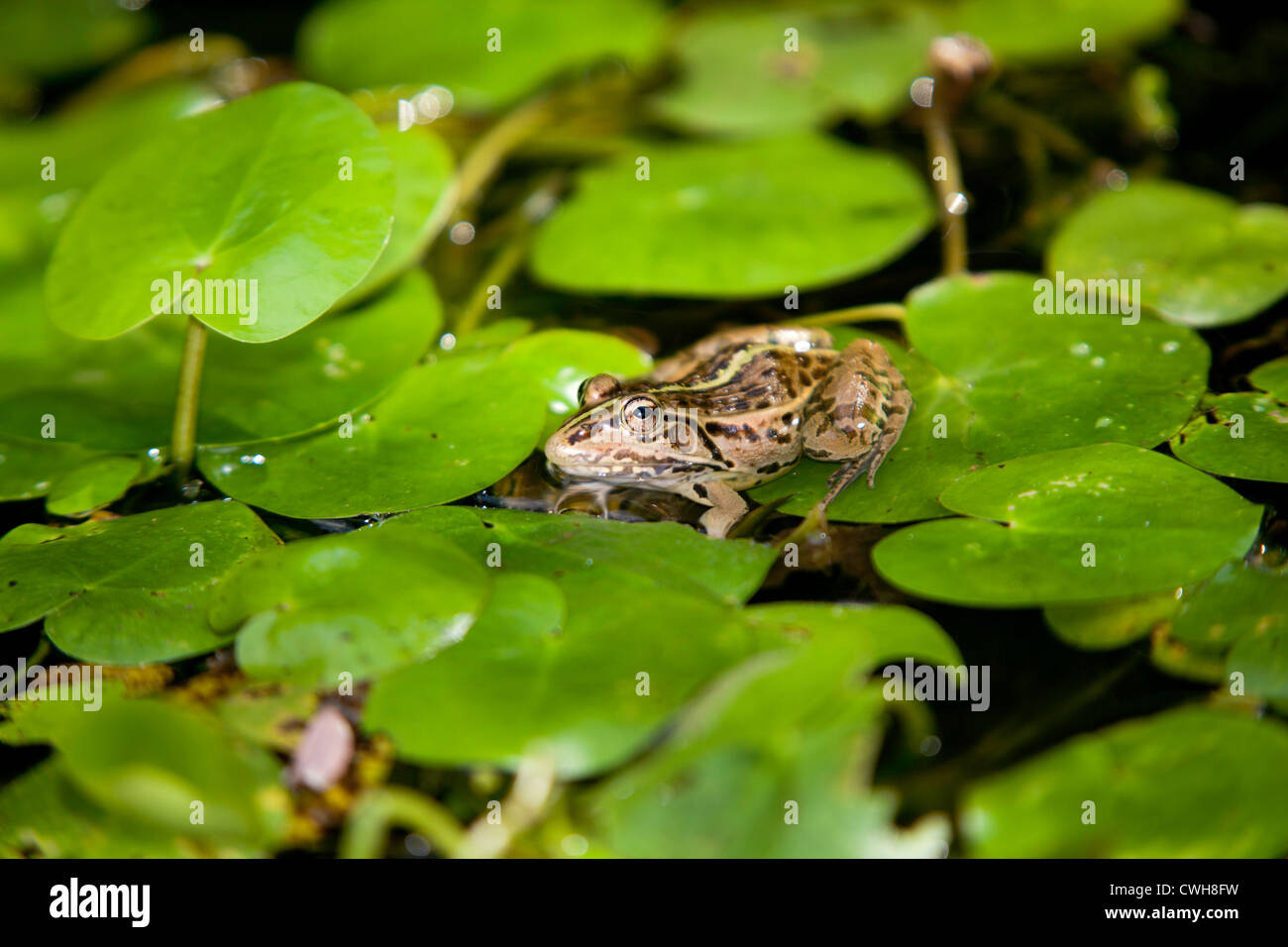 toad lily pad stockfotos toad lily pad bilder alamy. Black Bedroom Furniture Sets. Home Design Ideas