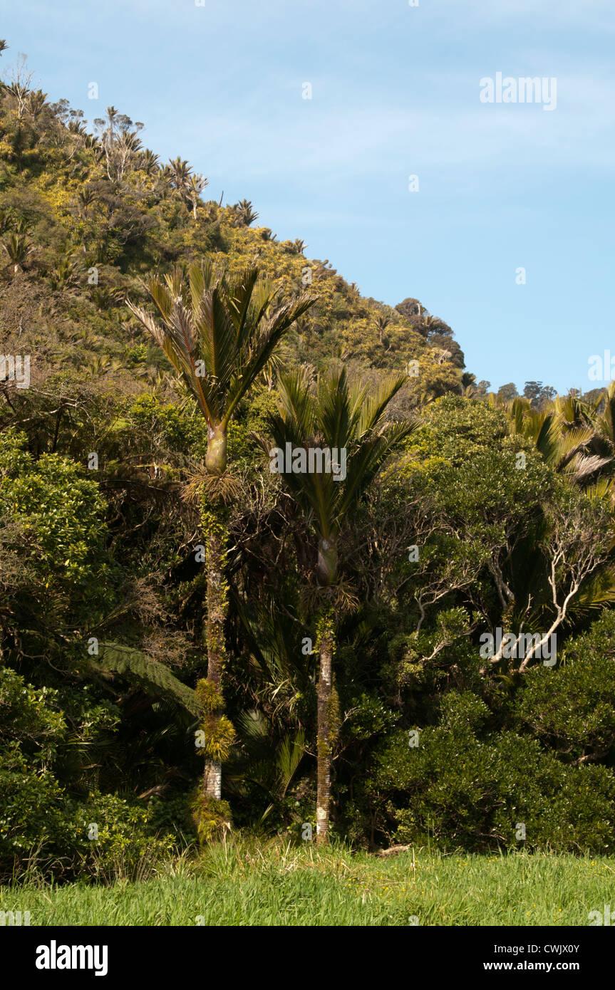 Die Nikau-Palme ist endemisch in Neuseeland und weltweit südlichste Palme.  Nikau-Palme ist Endemisch in Neuseeland Stockbild
