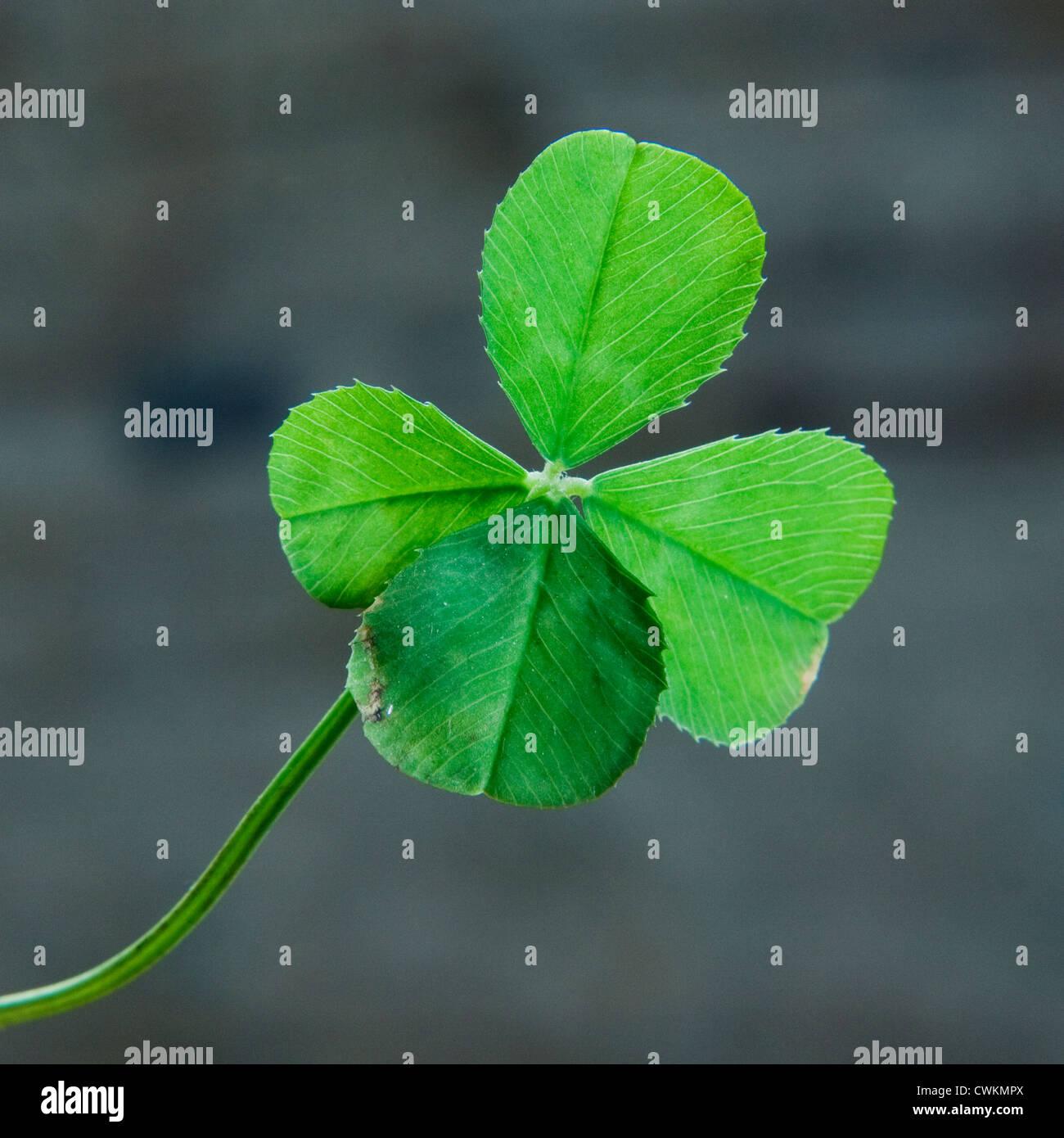 viel Glück Kleeblatt mit vier Blättern Stockbild