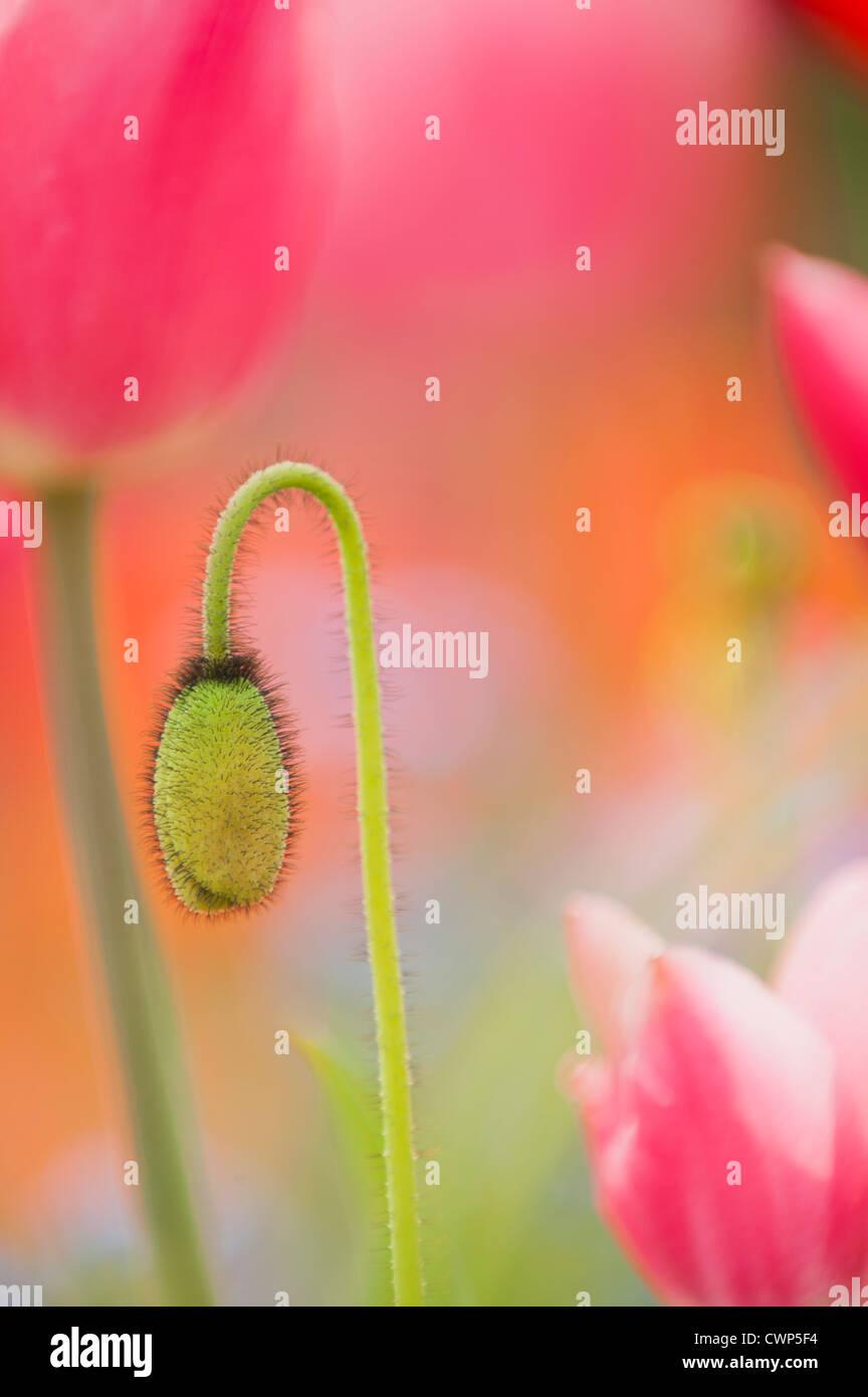 Mohn Blütenknospe Stockbild