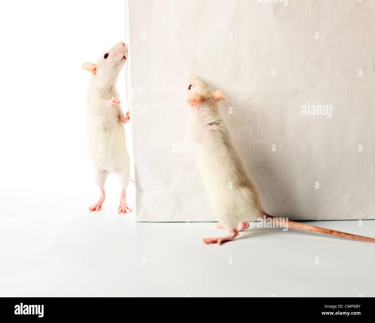 e49ff289e5c4e süße weiße Ratten eine weiße Tasche untersuchen