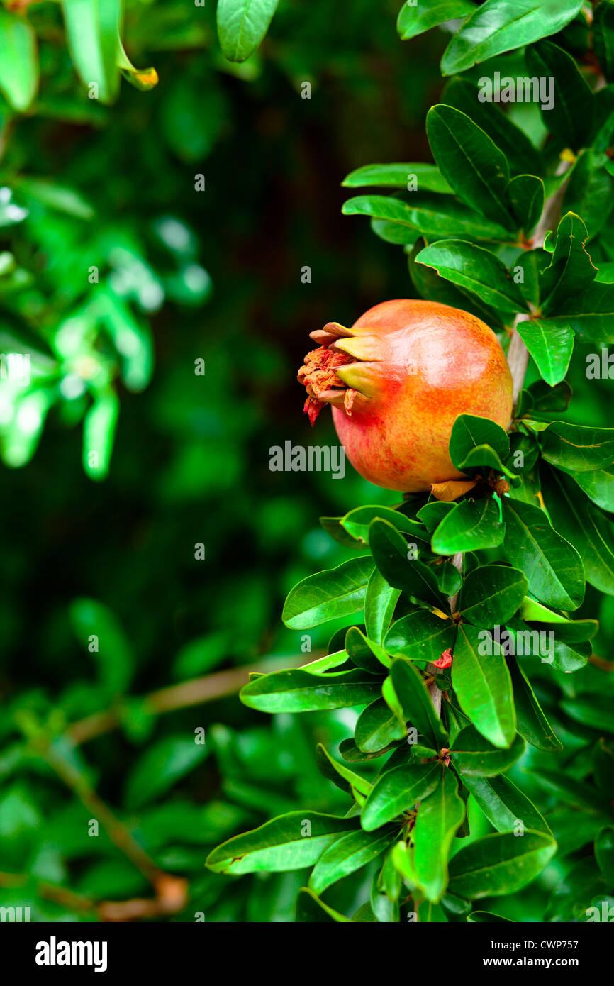 Granatapfel schließen oben auf einem Ast Stockbild