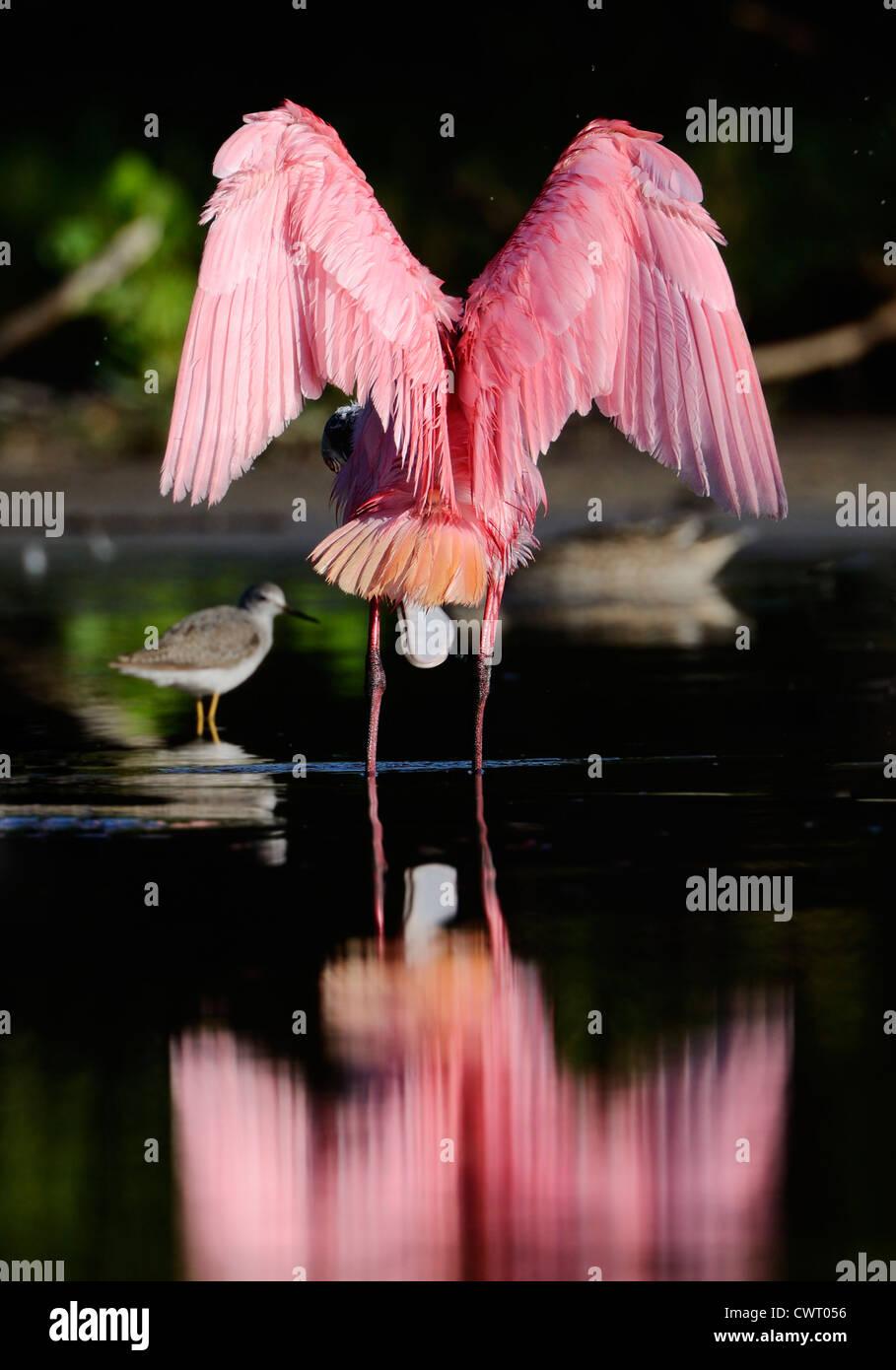Rosige Löffler erstreckt sich seine Flügel Stockfoto