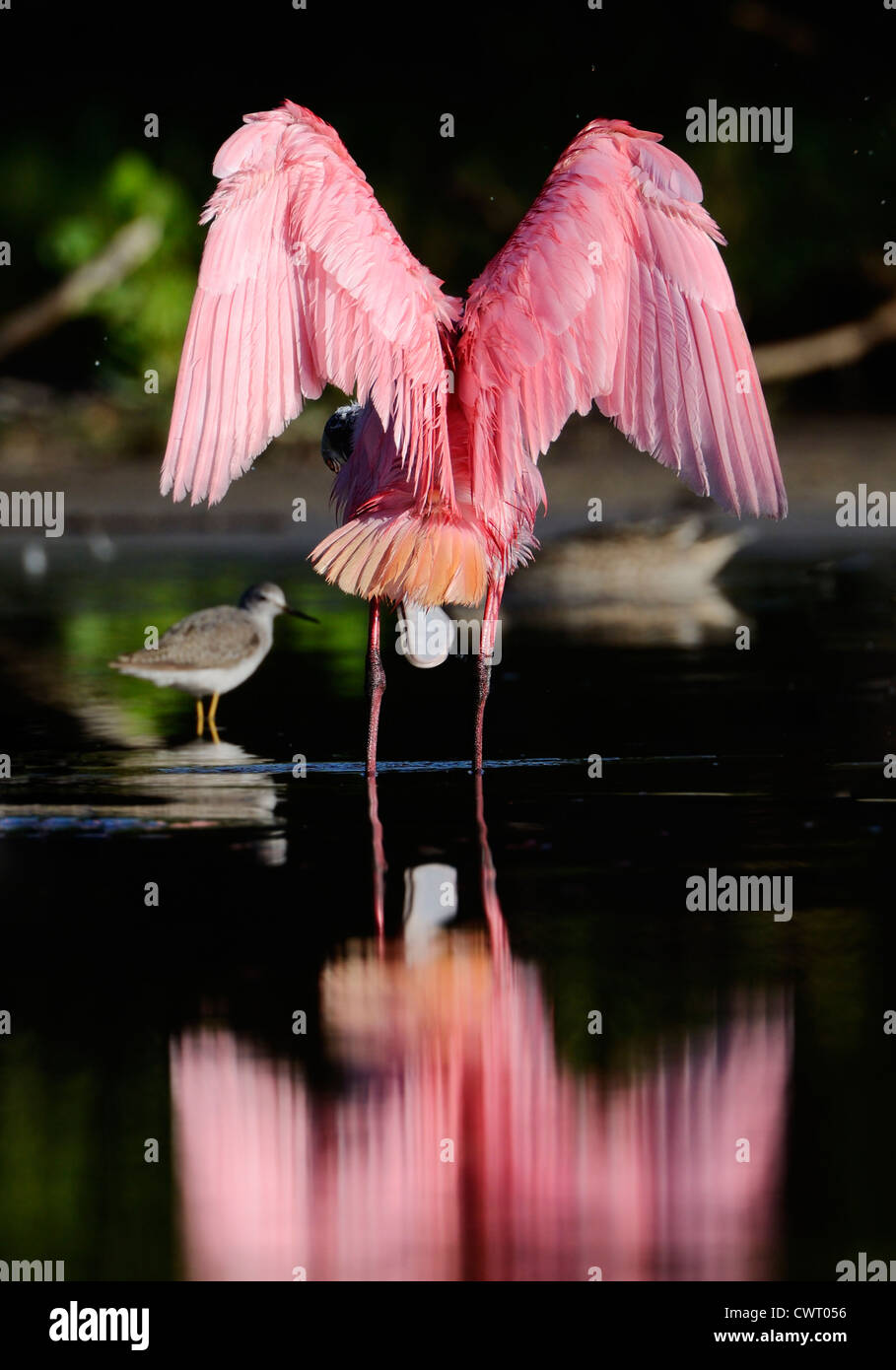 Rosige Löffler erstreckt sich seine Flügel Stockbild