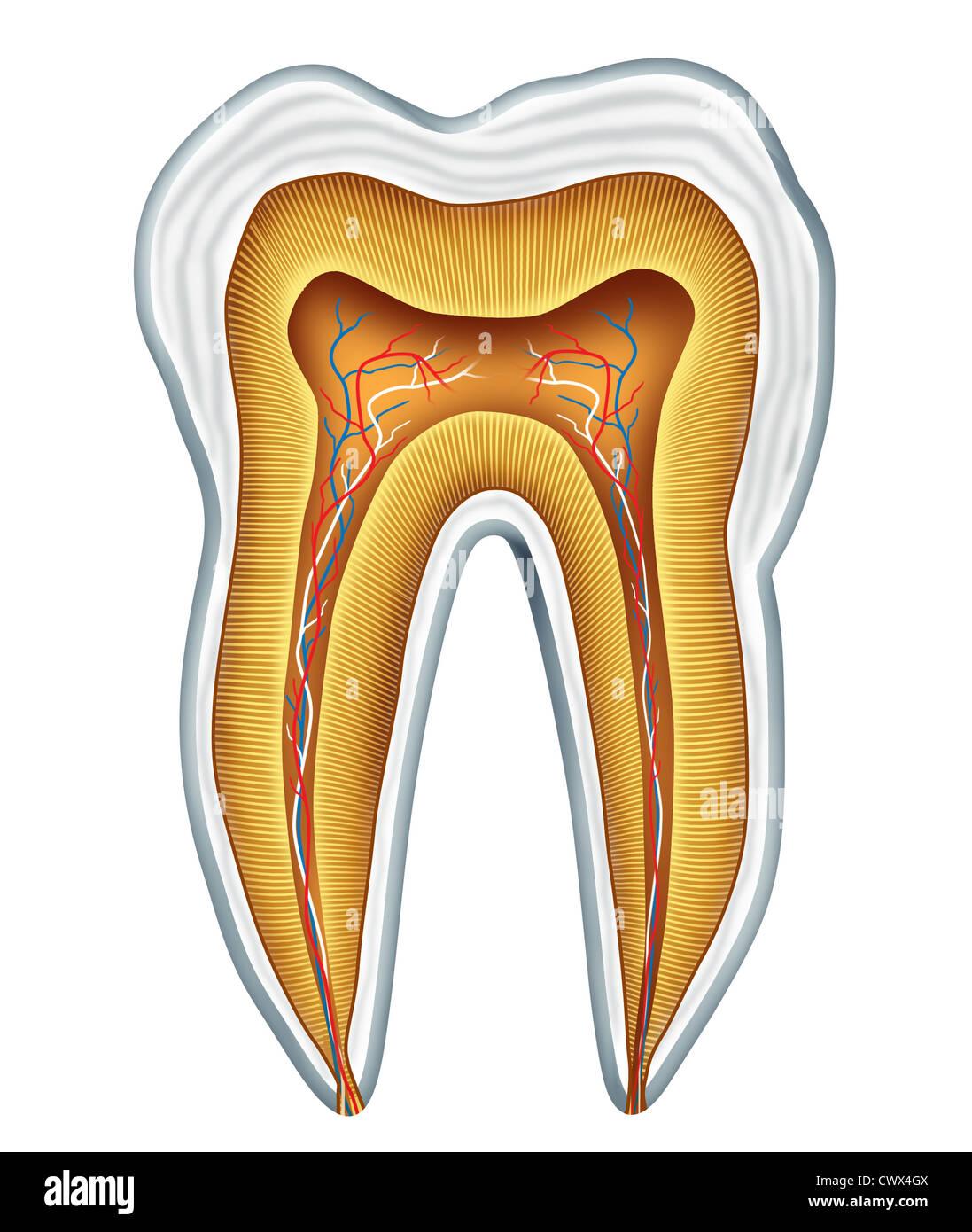 Zahn-Anatomie Querschnitt für medizinische Zahnklinik und ...