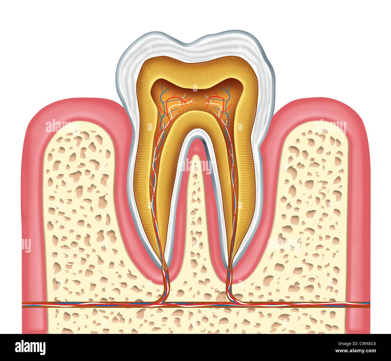 Anatomie eines gesunden menschlichen Zahn-Diagramms als Zahnarzt ...