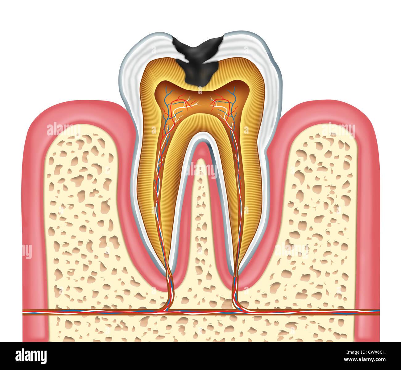 Zahn-Innere Anatomie-Diagramm als Zahnarzt Chirurg Zähne Symbol für ...