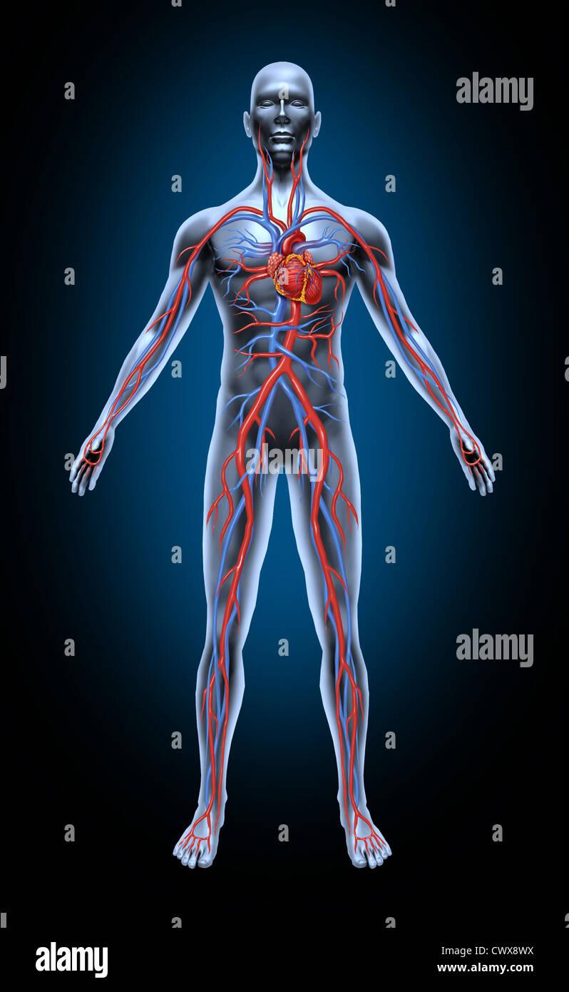 Menschlichen Blutkreislauf im Herz-Kreislauf-System mit Herzanatomie ...