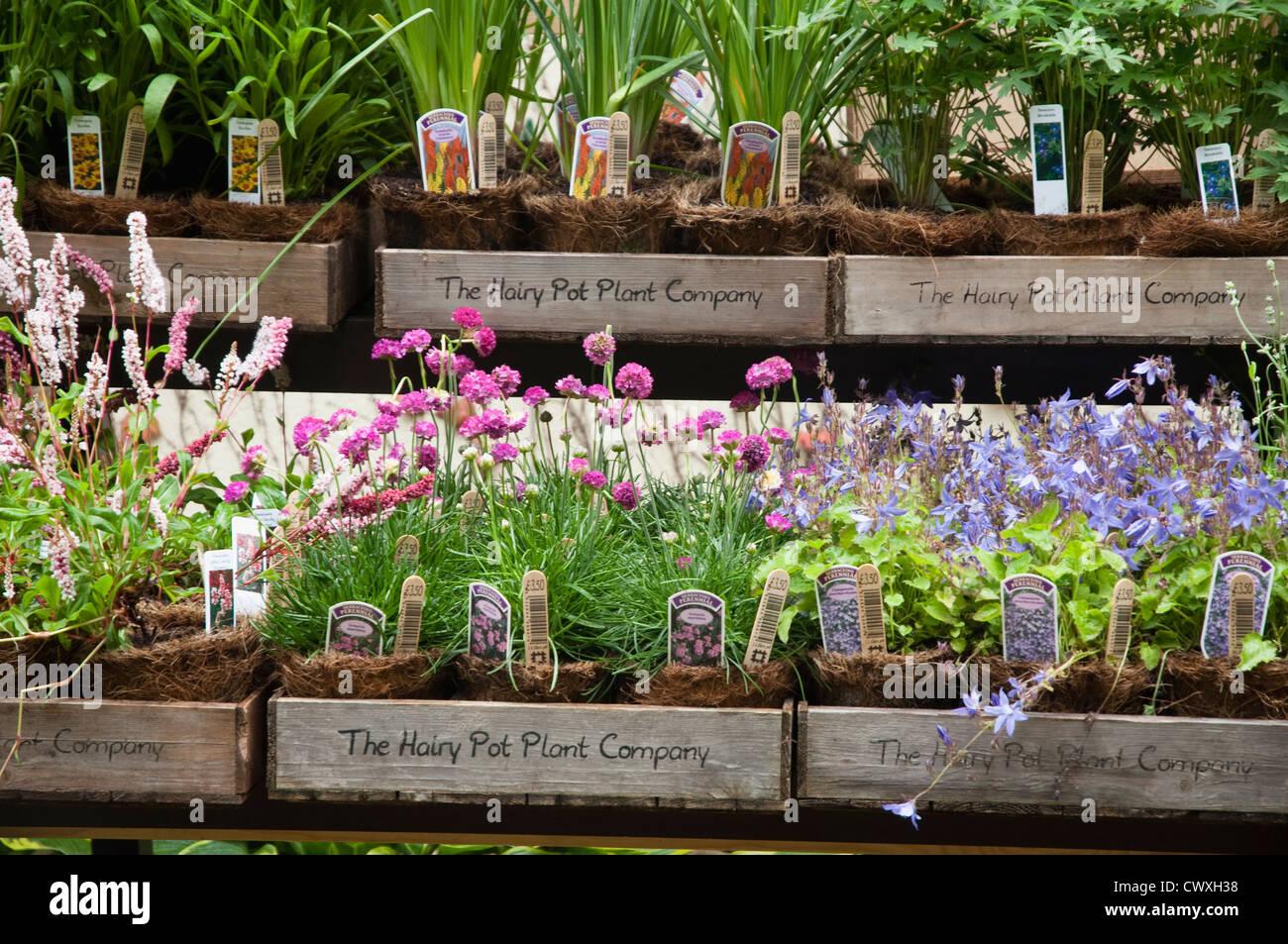 Behaarte Pot Plant Company - krautigen Pflanzen zum Verkauf innerhalb abbaubar Töpfen gewachsen. VEREINIGTES Stockbild