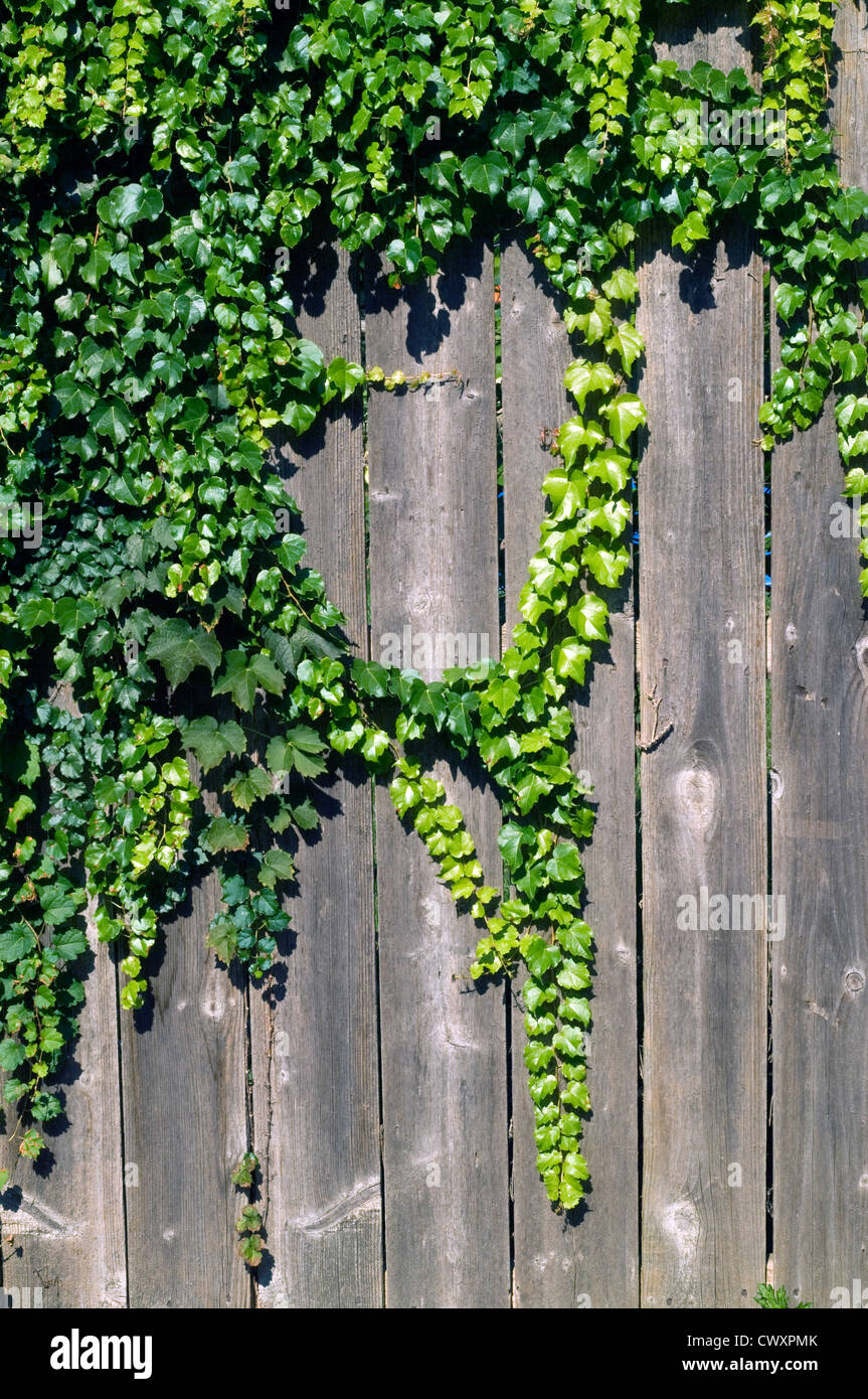 Efeu Wachst An Einem Zaun Aus Holz Garten Im Sommer Stockfoto Bild