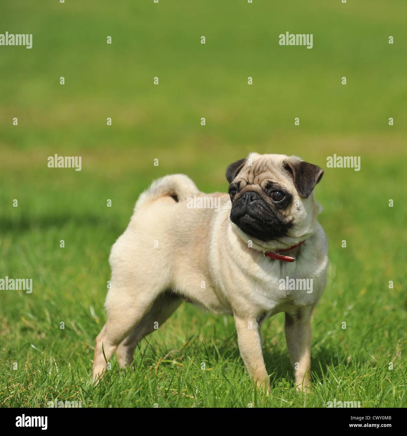 Mops Hund Welpen Stockbild