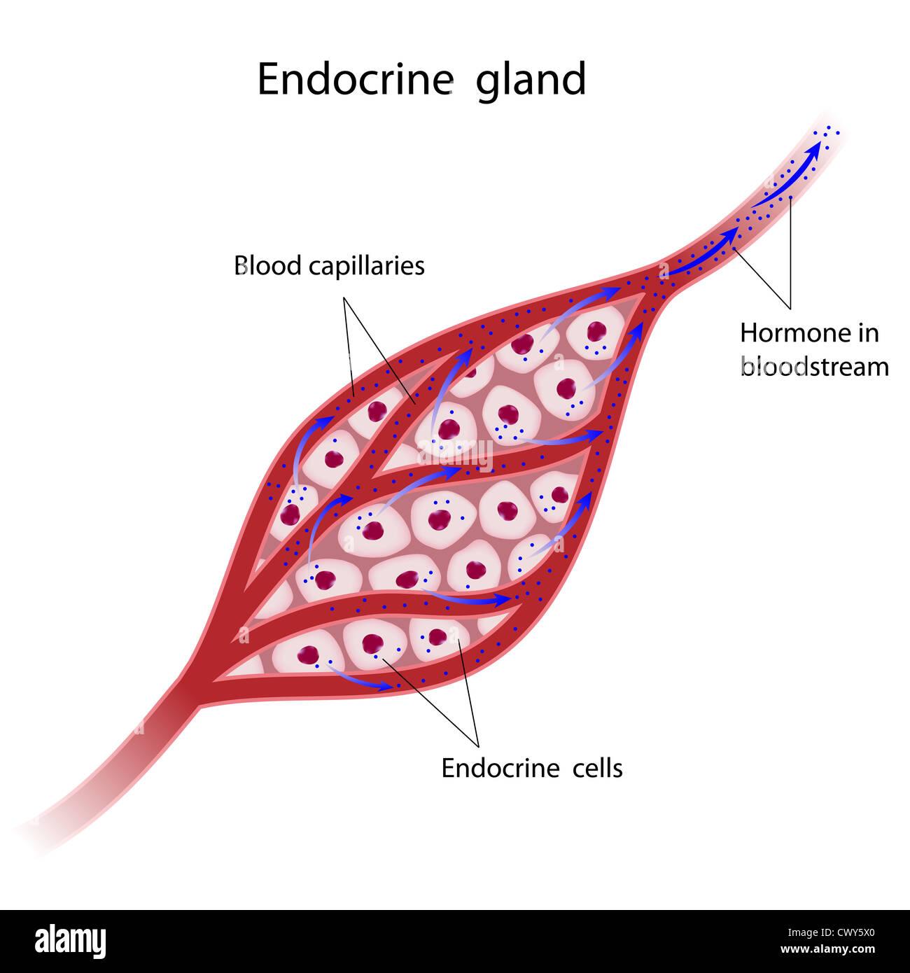 Endokrinen Drüsen Zellen Hormone direkt in den Blutstrom Stockfoto ...