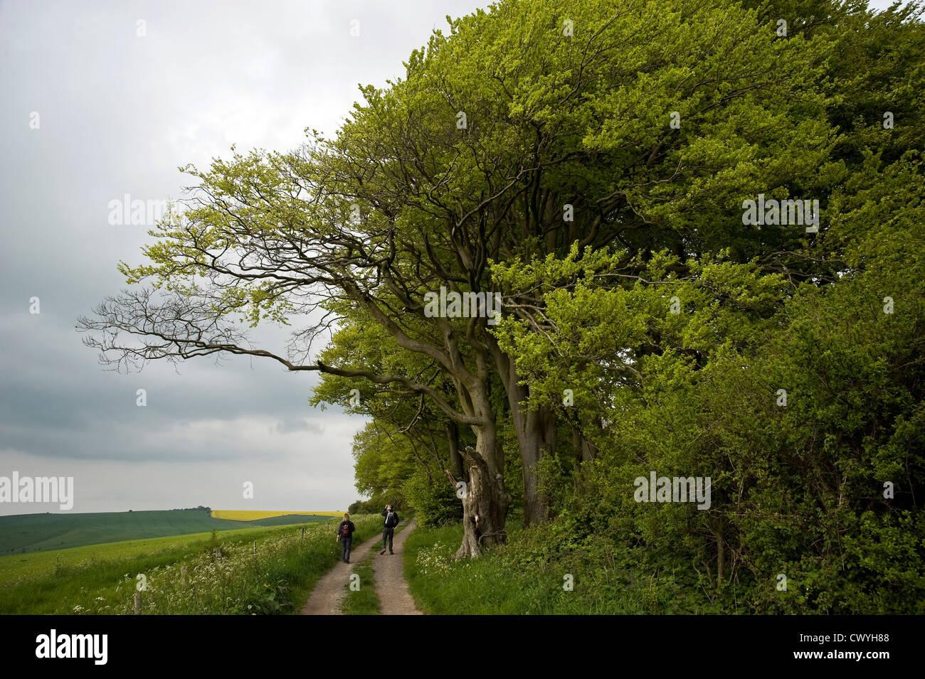 Alte Buche auf dem Höhenweg Long Distance Weg in der Nähe von Liddington Hill, Wiltshire, Großbritannien Stockfoto