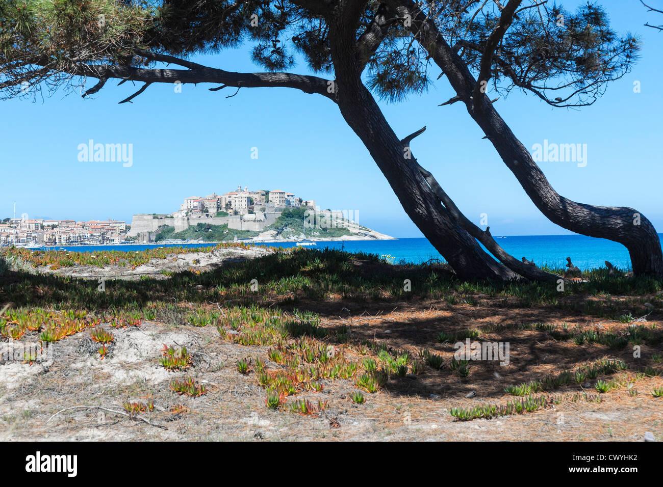 Pinien am Strand des Golf von Calvi, Korsika, Frankreich Stockbild