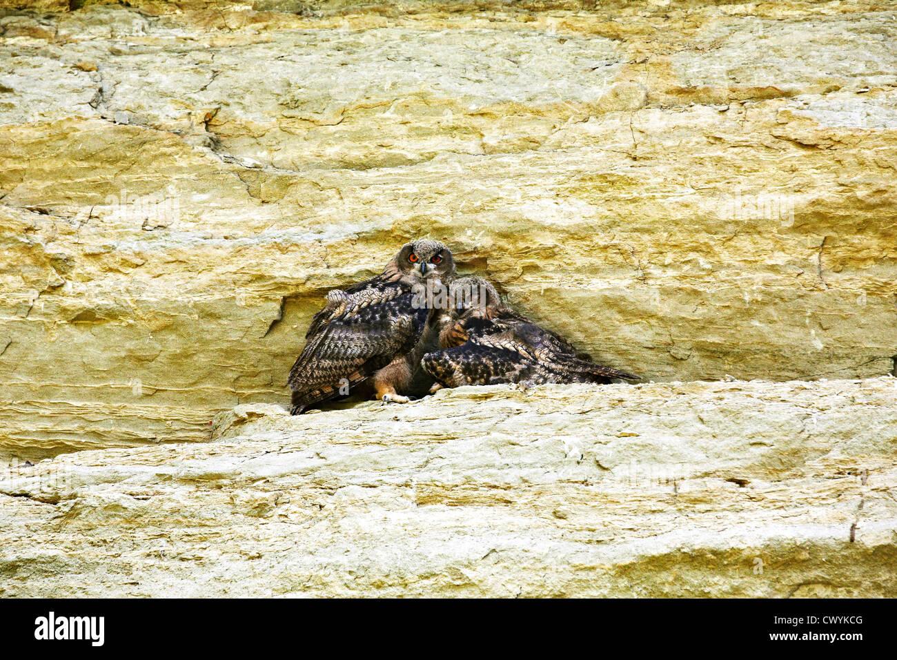Drei junge Adler Eulen, Bubo Bubo Stockbild
