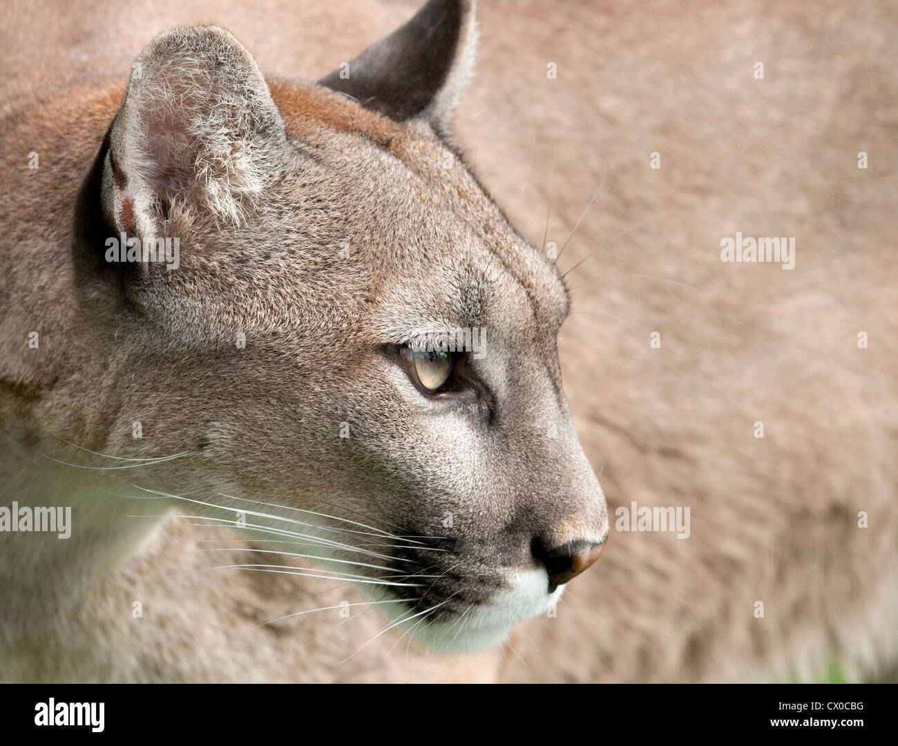Puma Profil Stockfotos & Puma Profil Bilder Alamy