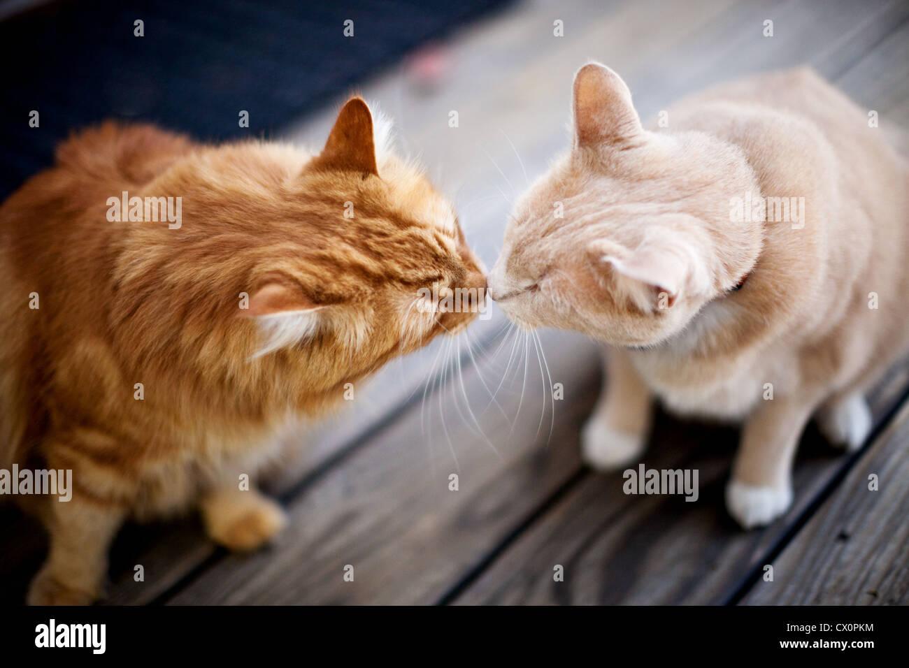 Draufsicht auf zwei Katzen, die Nase zu berühren Stockbild